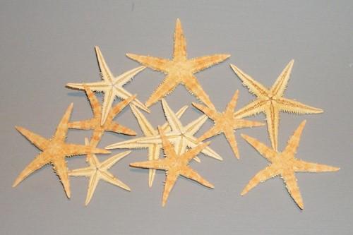 Zeester 8-10 cm 50 stuks Zeesterren